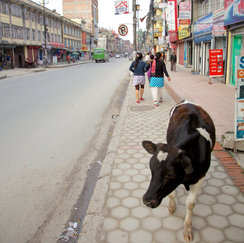 A cow roams the streets and passes me on the way to lunch in Kathmandu